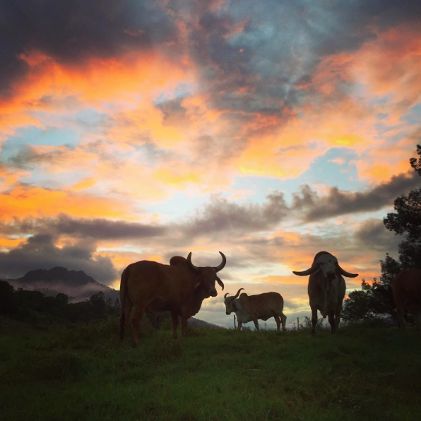 Sacred cows in the Krishna Farm meadows; Photo: Marc Oliver Adams
