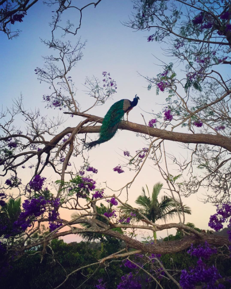 Peacock Nila in the Jacaranda tree; Photo: Marc Oliver Adams
