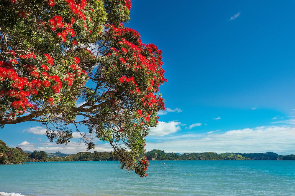 Pohutukawa Tree, Auckland