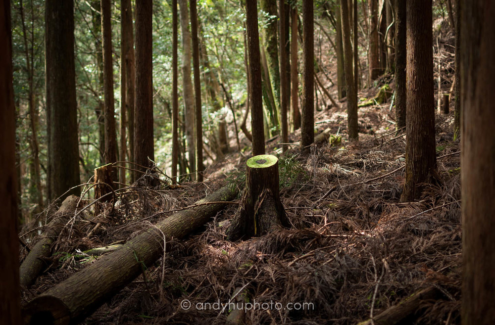 A sawed tree stump stands alone in the woods along the Kumano Kodo,  Naka  he  chi Trail