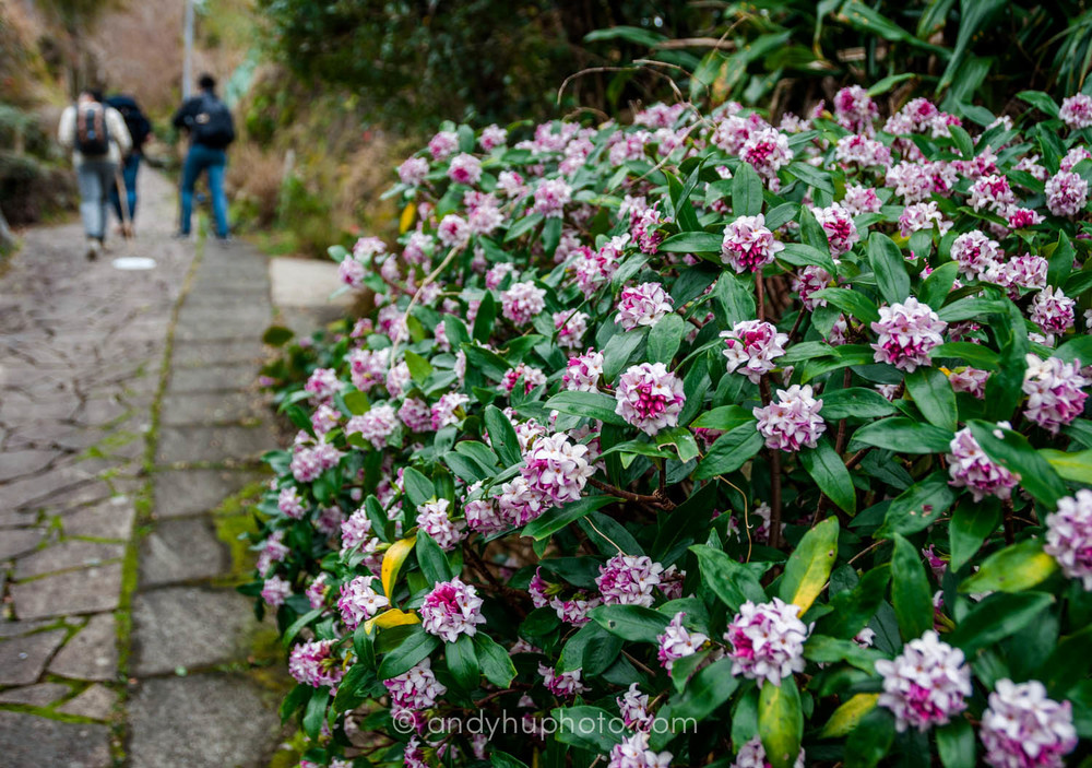 We pass by a village and flowers along the Kumano Kodo,  Naka  he  chi Trail