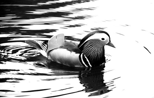 duck-stillness-life-written