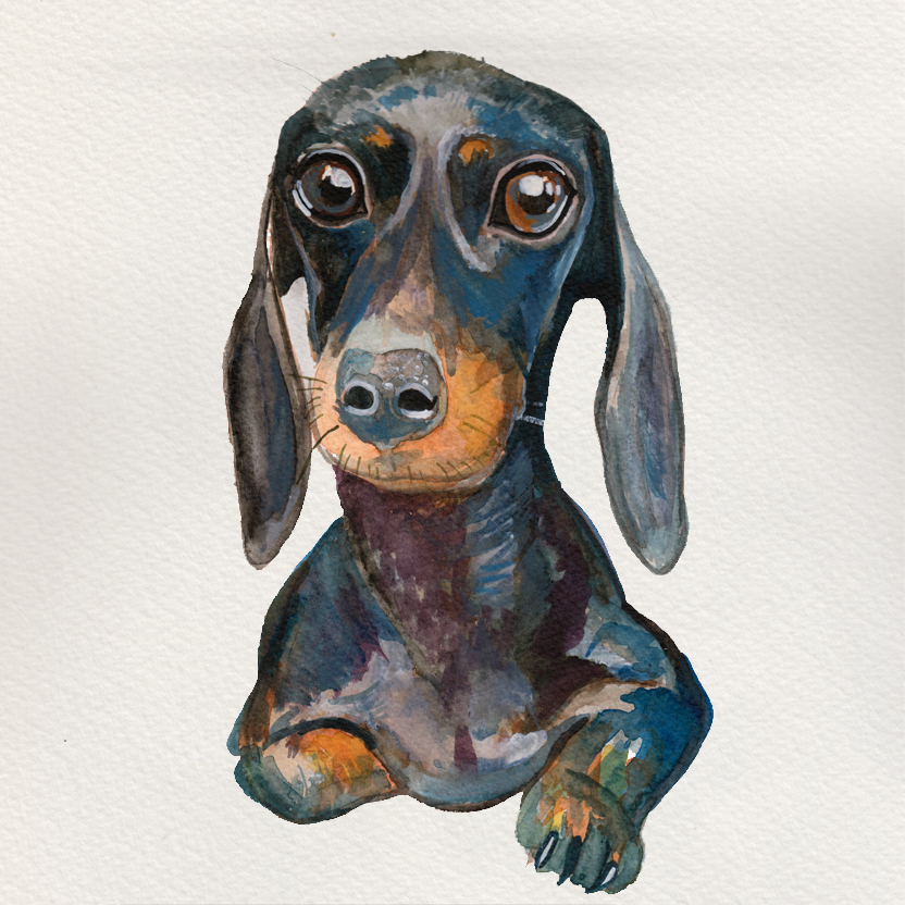 A lovely Dachshund.
