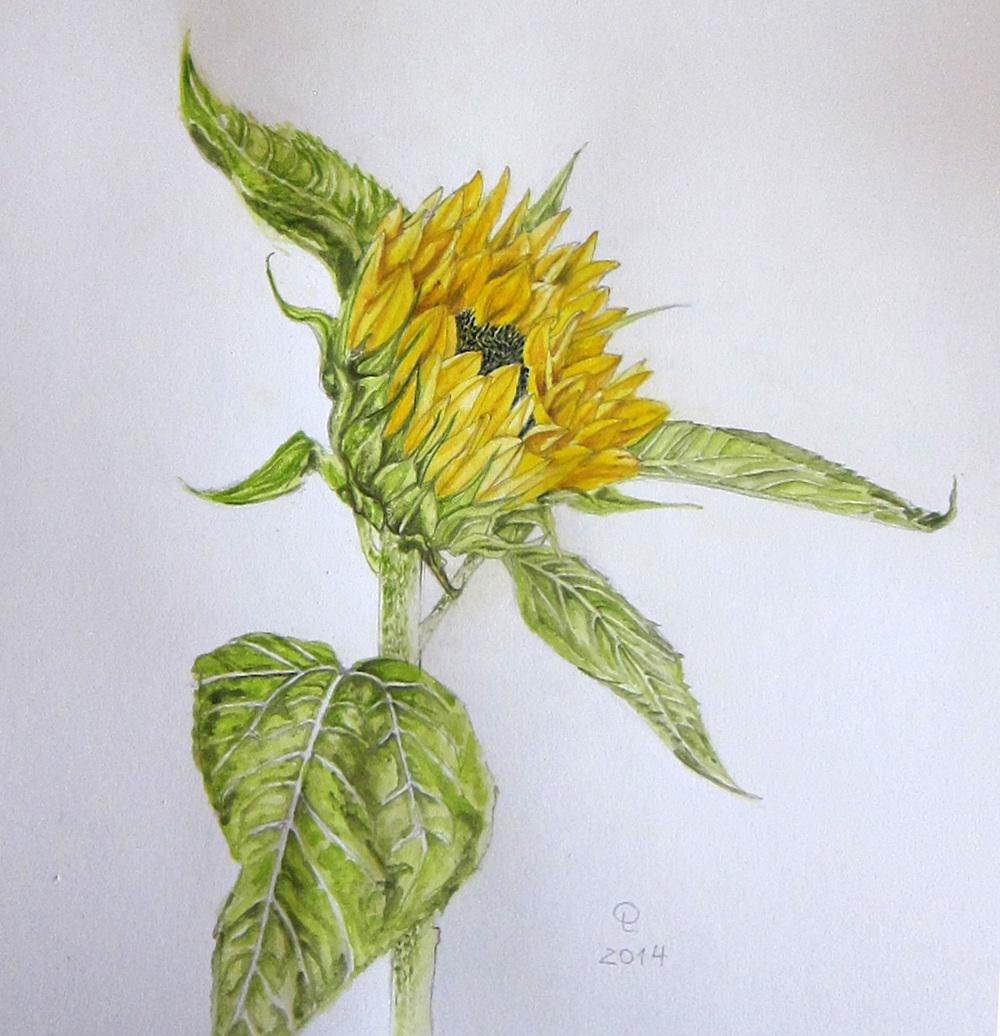a-sunflower-olluna.jpg