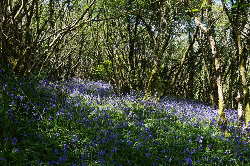 Private woodland with bluebells in spring at wedding venue Pengenna Manor in Cornwall 01.jpg