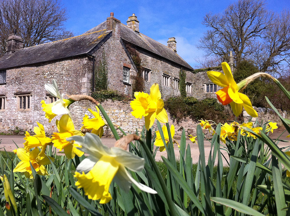 Spring daffodils at wedding venue Pengenna Manor in Cornwall.jpg