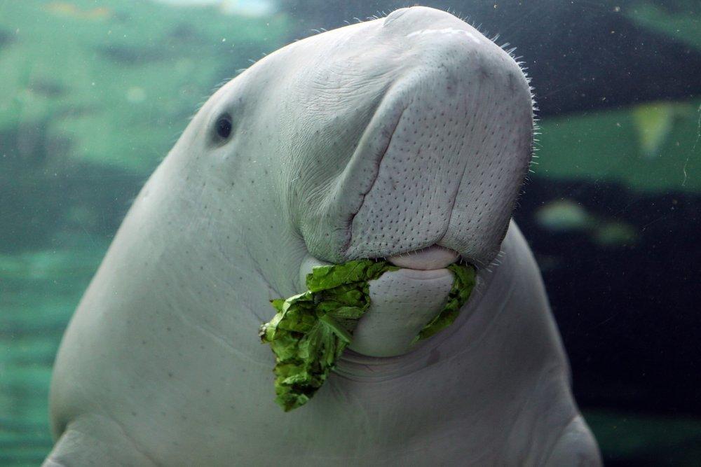 dugong feeding in seagrass meadows