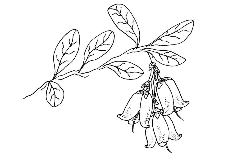 Ligonberry.JPG