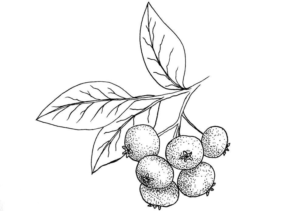 Bilberry.jpg
