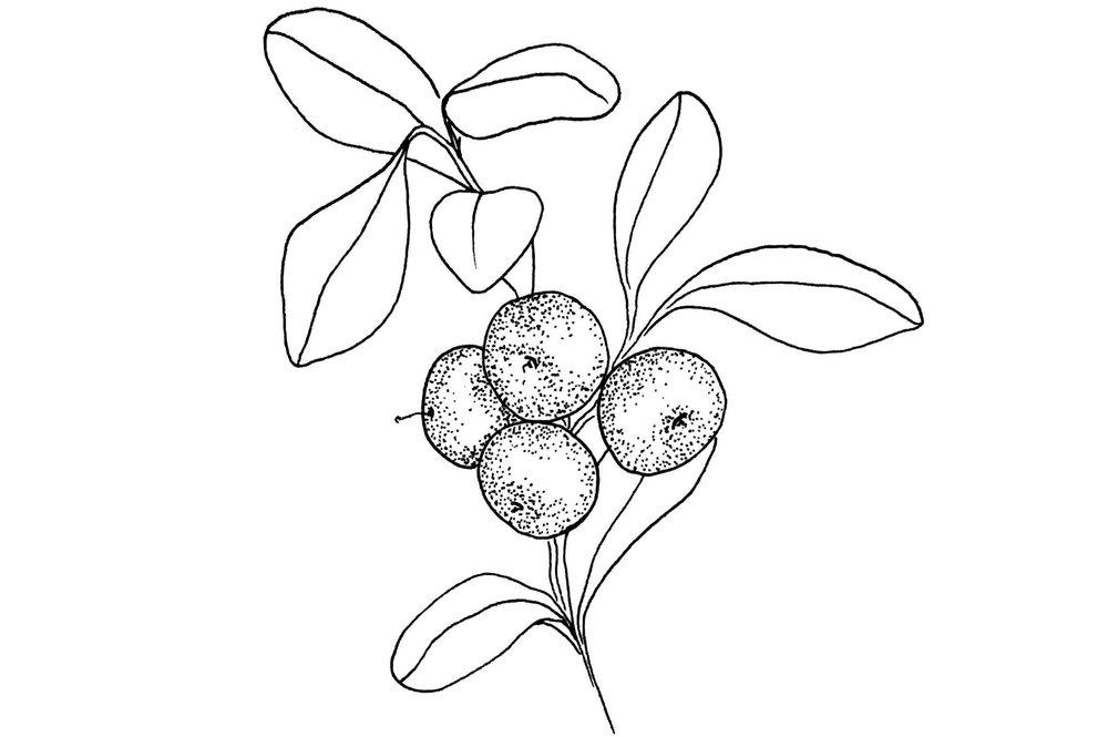 Bearberry.jpg