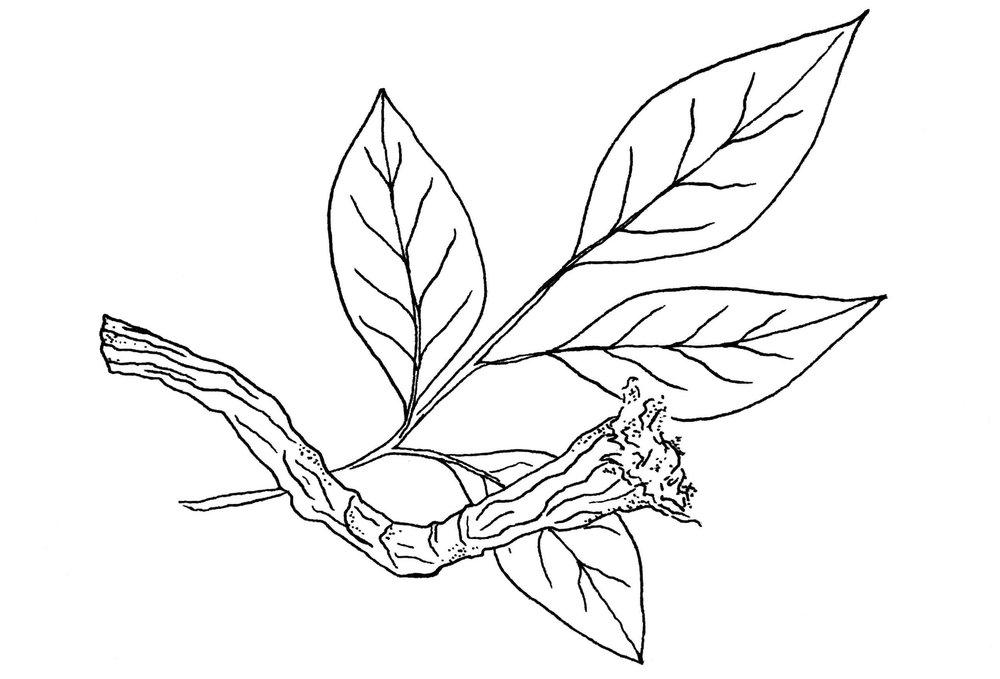 Licorice Root.jpg