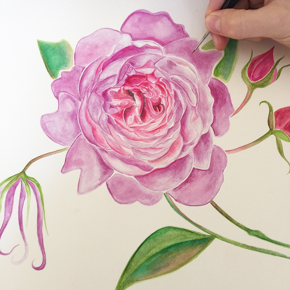 Wisley English Rose | Watercolour Rose | Botanical Art
