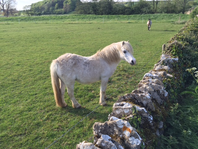 Grey Pony in the Cotswolds