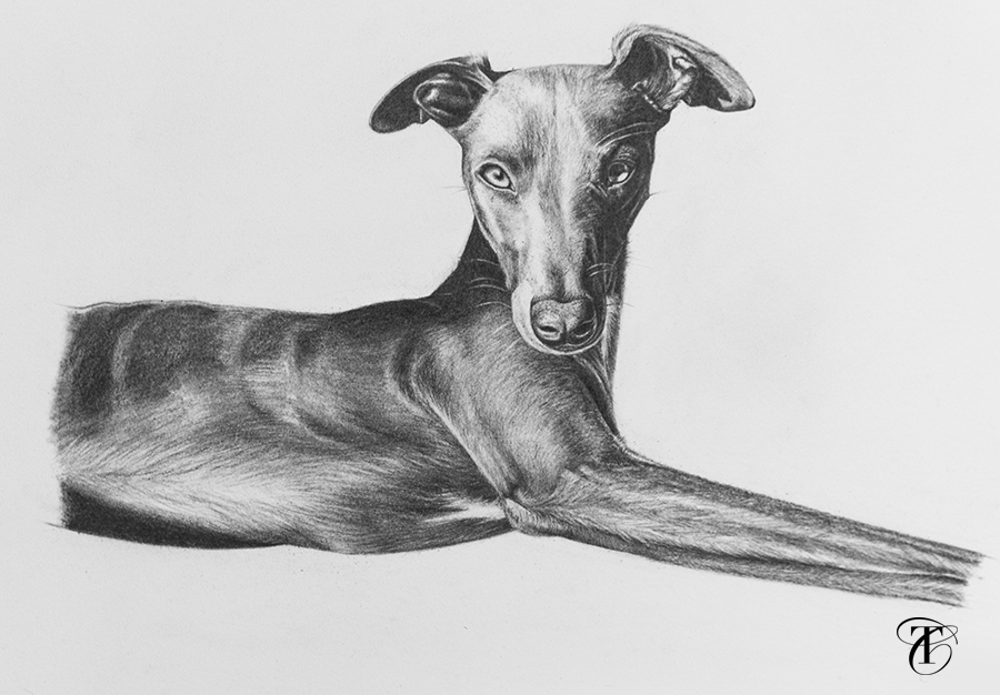 realistic whippet pencil dog drawing
