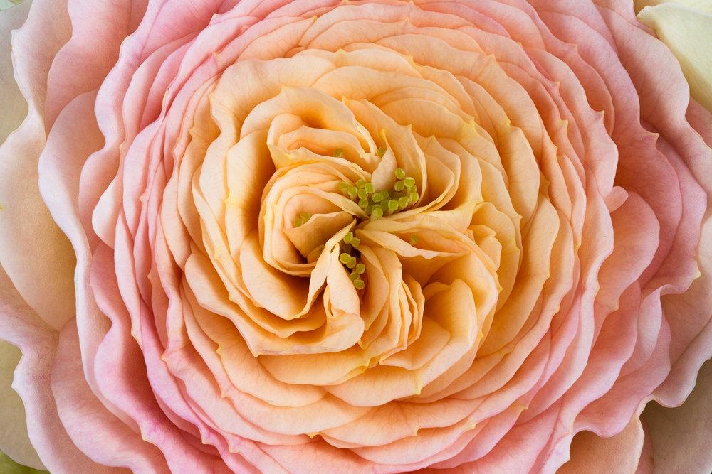 Patty Hankins, Rose