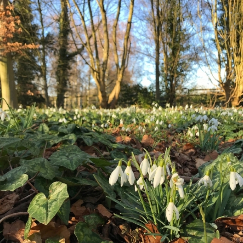 Snowdrops GALORE! Angelsey Abbey Winter Garden.