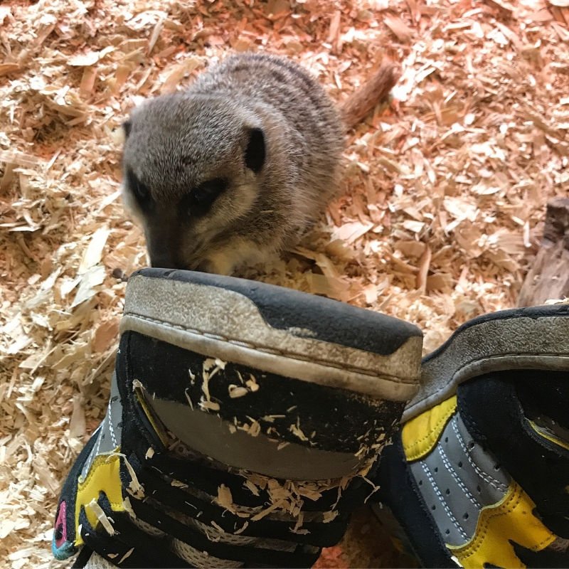 the-animal-experience-meerkats.JPG