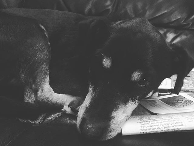 Our editor's dog likes to take naps on the news 📰🗞 . . . . #dog #dogsofinstagram #adoptdontshop #puppy #news #newspapers #🐶