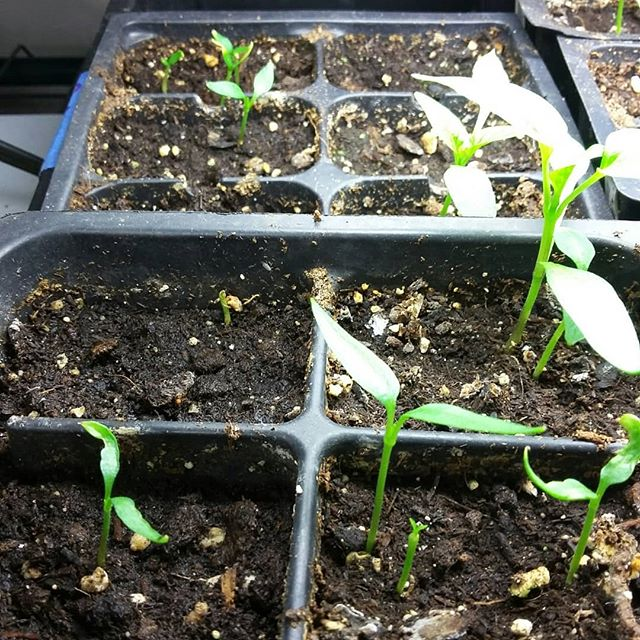 We start our peppers in mid January because 3 weeks later some have decided to come up. And 6 weeks later a few more decide it's finally time while the early ones are just getting their true leaves. They are so slow. I understand why they're so expensive at the grocery store! #pepperplants #pepperseedlings #bellpeppers #hotpeppers