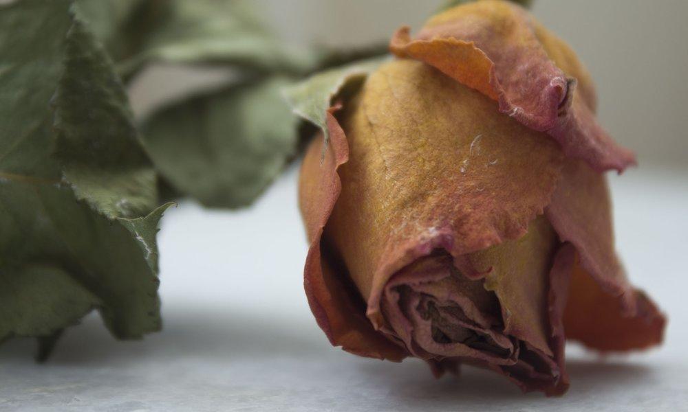 dead rose small.jpg