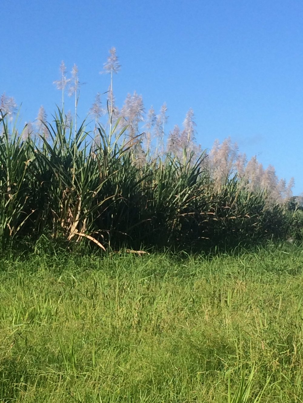 cane field.JPG