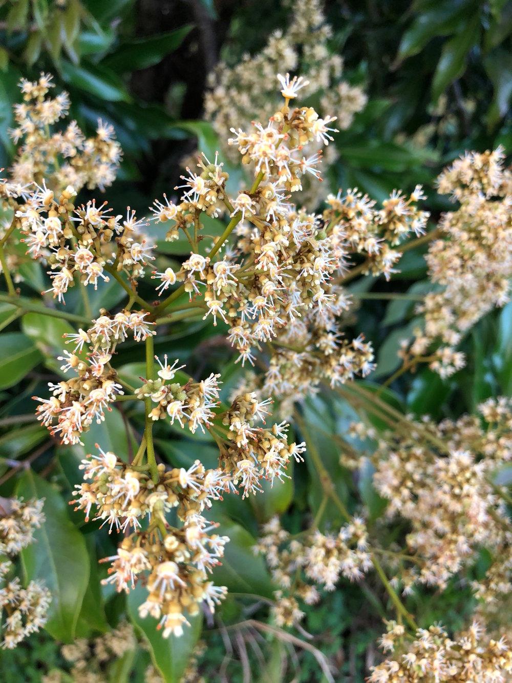 lychee flowers.jpeg
