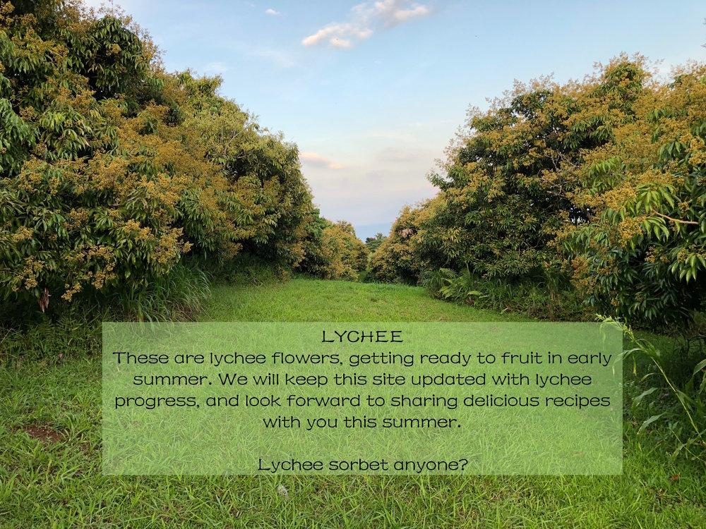 lychee orchard 1.jpeg
