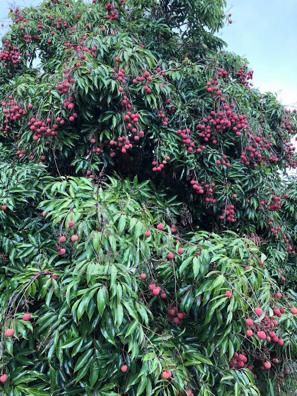 ripe lychee.jpeg