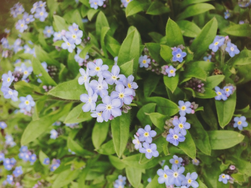 Forget-me-nots from the  Burden Bearing Baskets  garden.