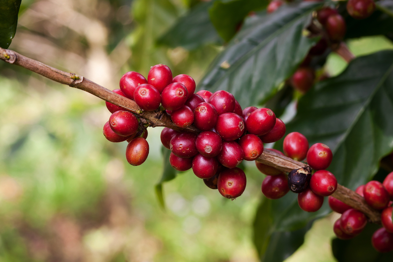 NusaWebsite coffee cherries.jpg