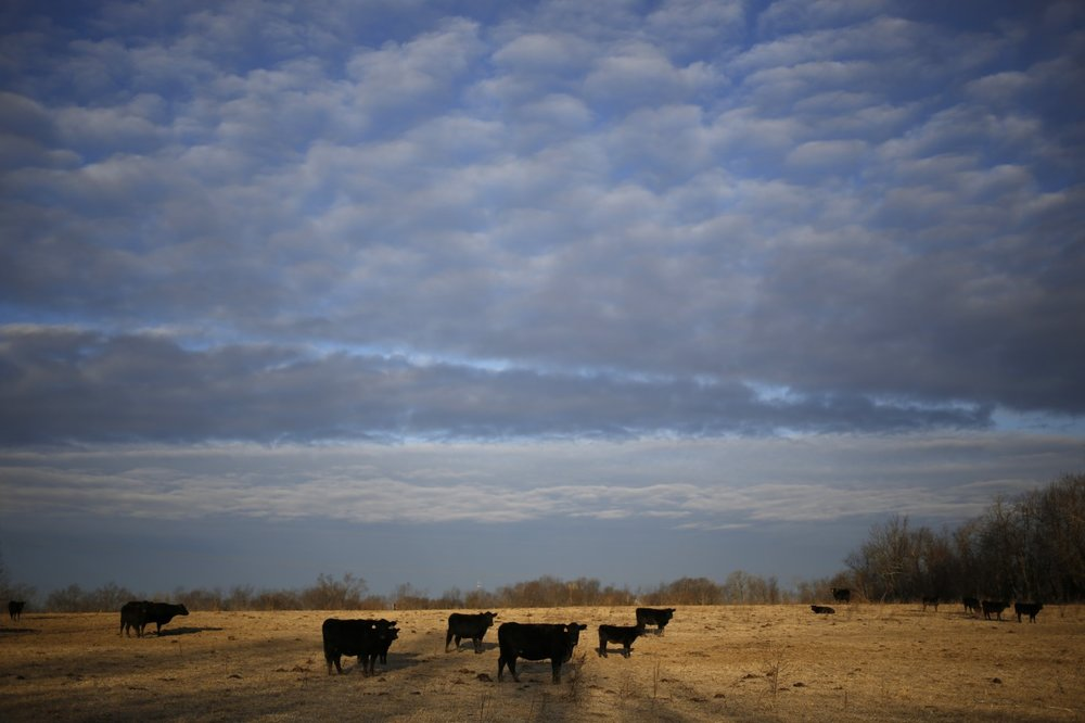 Grass-fed Angus cattle roam the pasture at Wholesome Living Farm in Winchester, Ky. It's an appealing scene, but is grass-fed beef the best choice for the consumer, the animal and the planet? (Luke Sharett/Bloomberg)