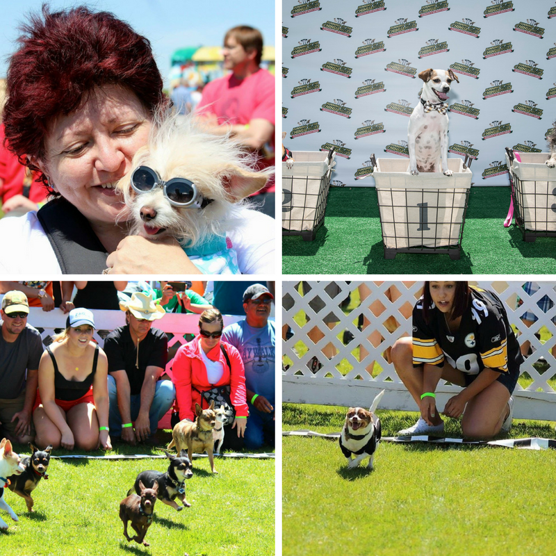 Running of the Chihuahuas 2016