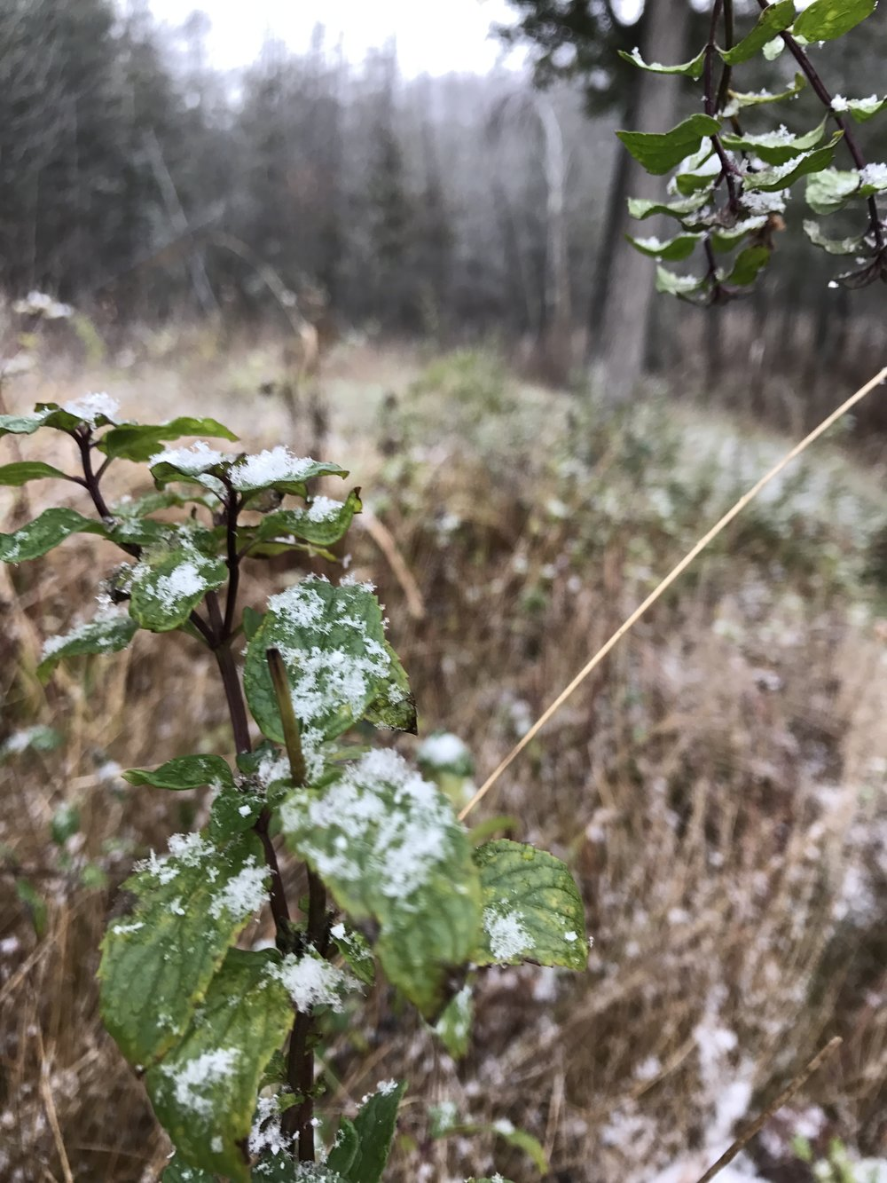 Wild Peppermint, still completely harvest-able with snow gracing its leaves!