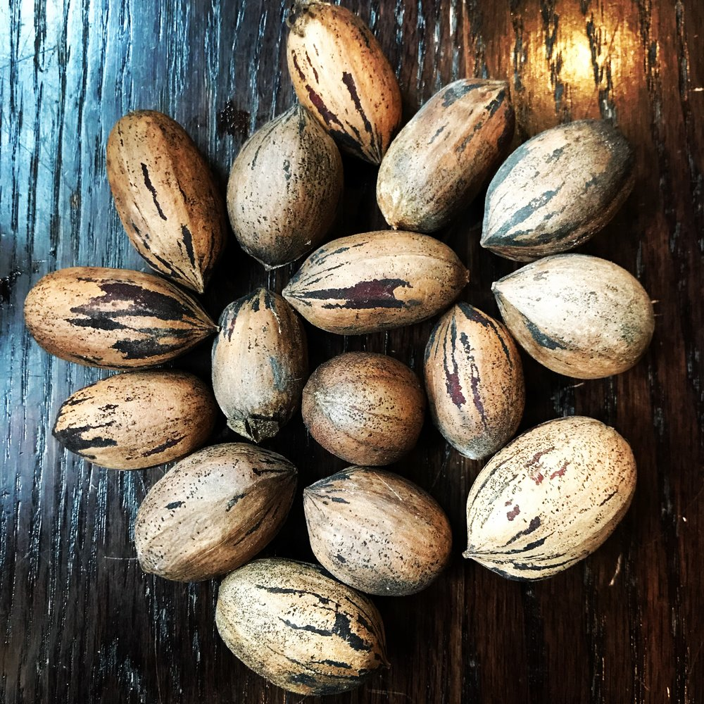 The nuts of the pecan tree or Carya illinoinensis are among the easiest hickory nuts to both gather and to crack.
