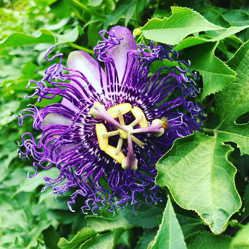 I assure you that this Passionflower is not from the Avatar world.
