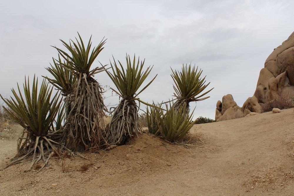 Yucca Plant -