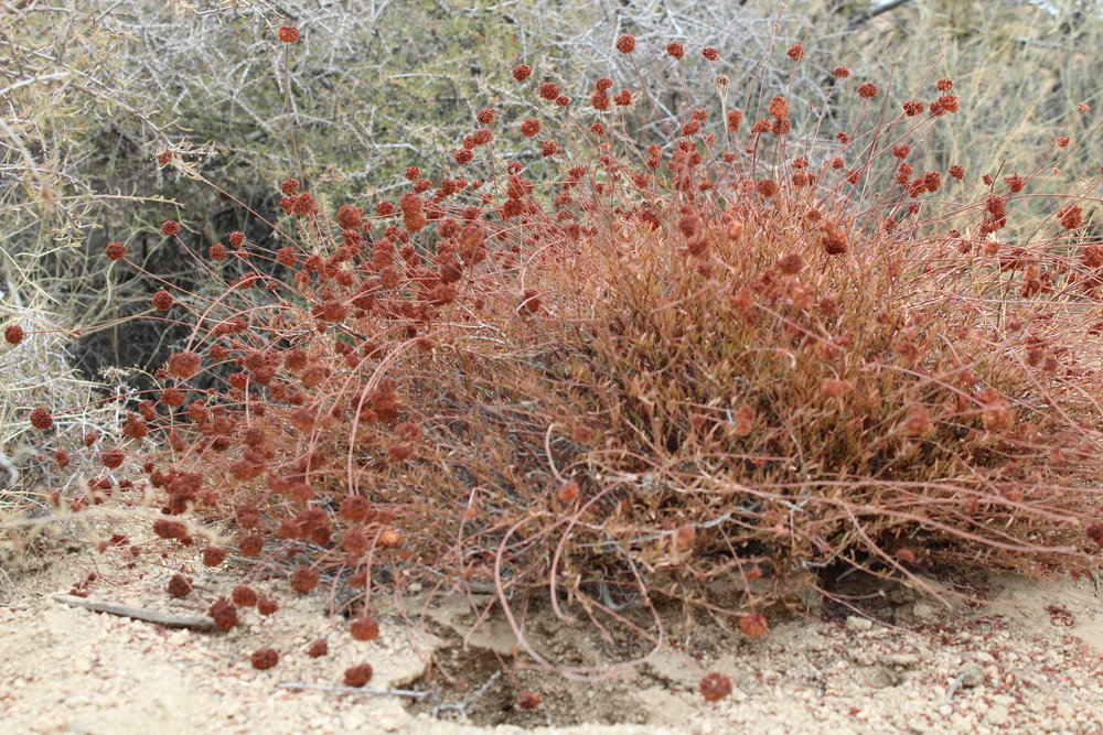 CaliforniaBuckwheat -