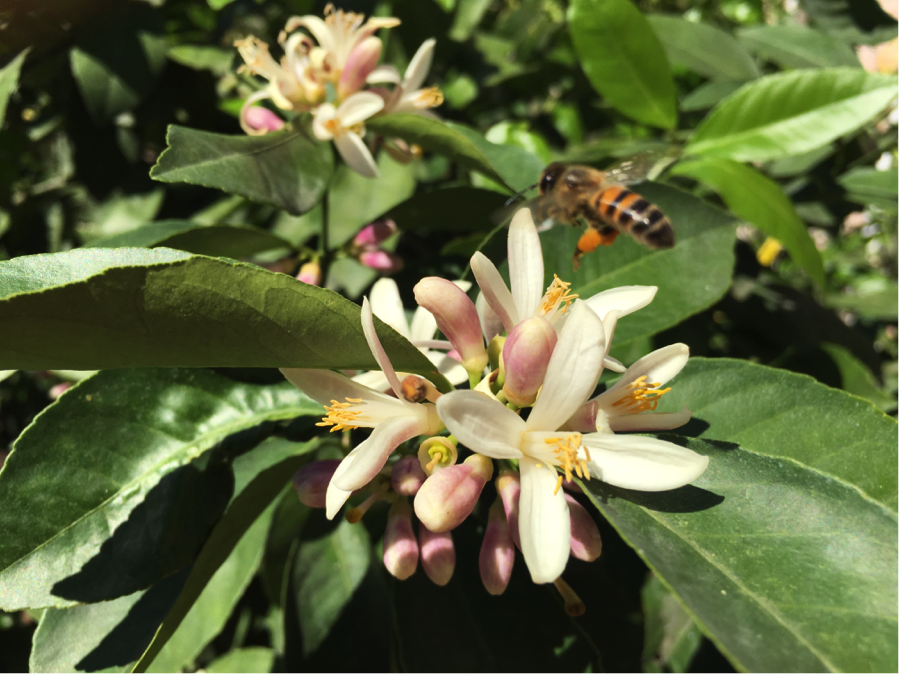 This is a snippet of the wonder going on in my garden today. There are brigades of bees ensuring perfect ingredients for next year's lemon curd. I wish I could share the exquisite fragrance with you, too!