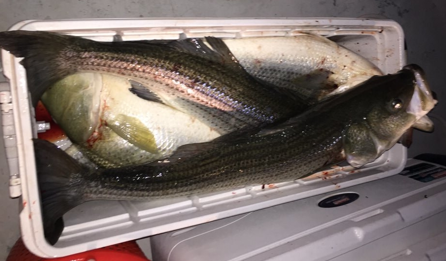 striped_bass_full_cooler.jpeg