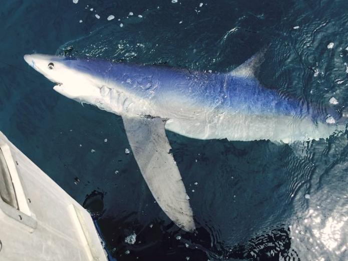 shark_blue.jpeg