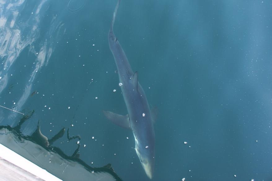 shark_underwater_boat.JPG
