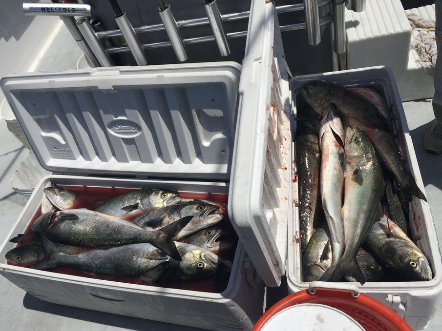 Bluefish Slaughter.jpg