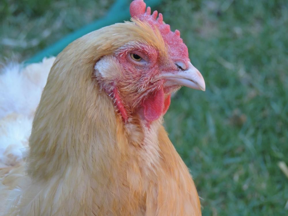 Cheerio the Chicken