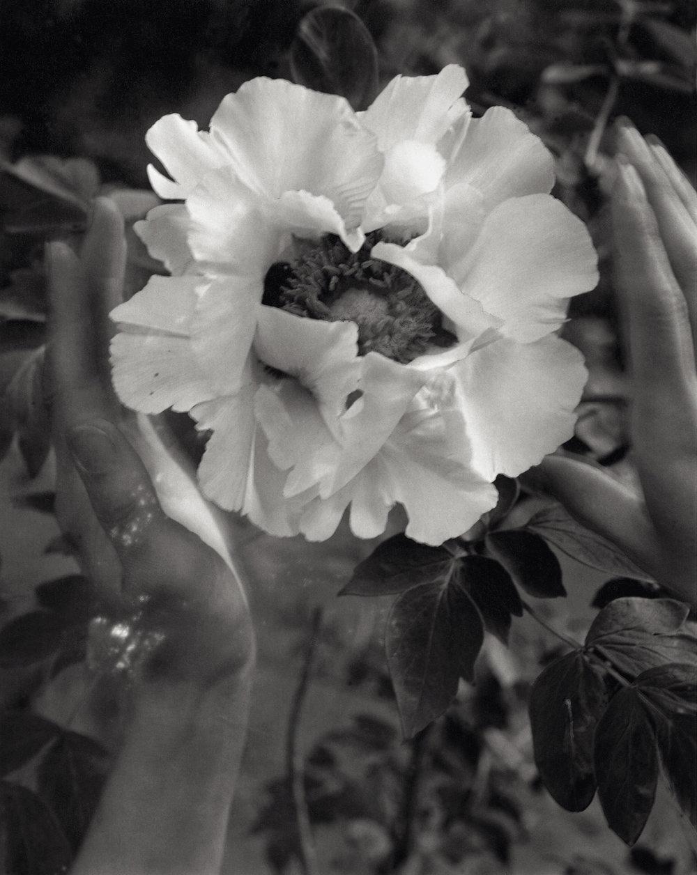 Beholding Paeonia Rockii, Linwood Gardens, Pavilion, New York,2007