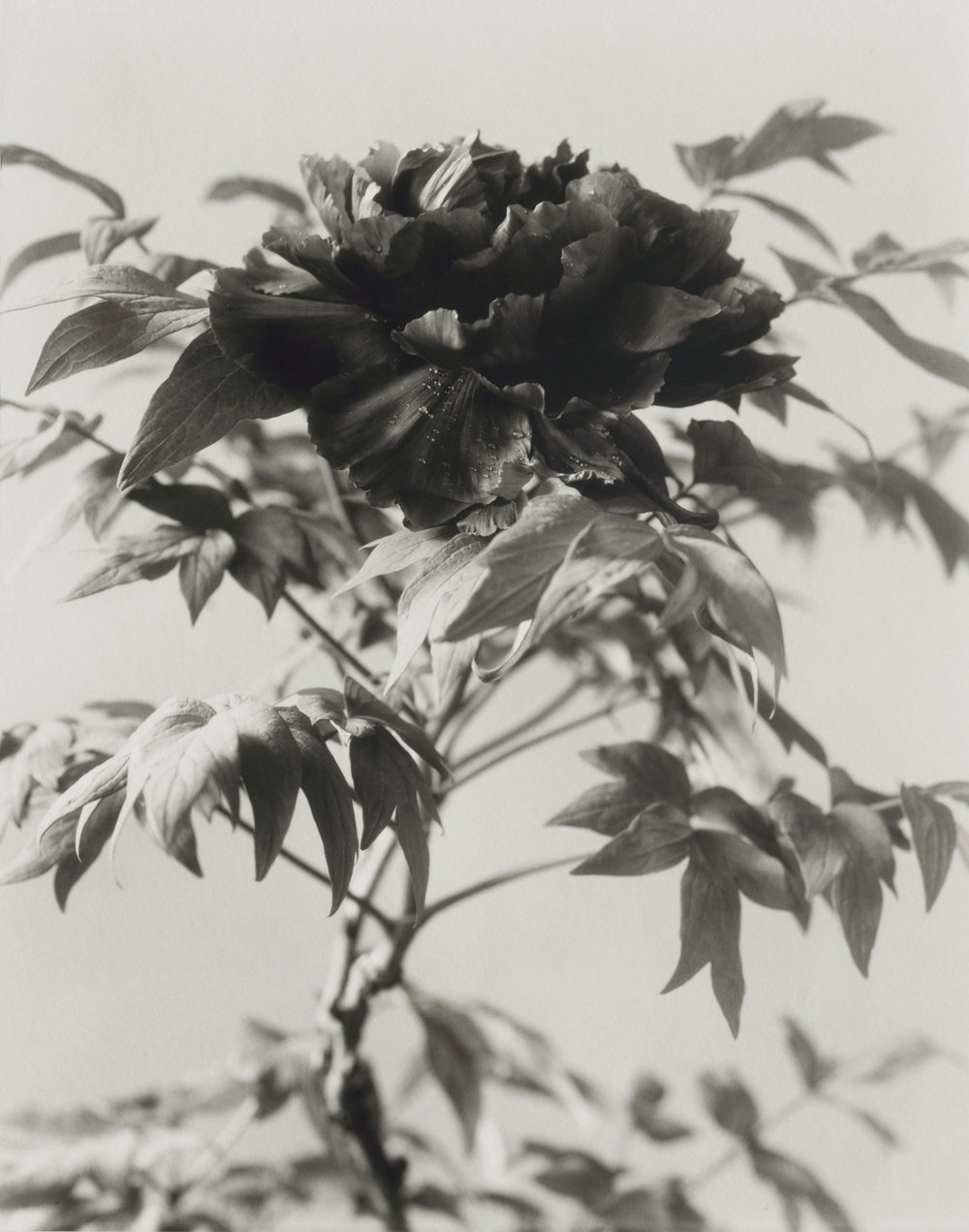 Elvira_Piedra_Good_Friday_Tree_Peony.jpg