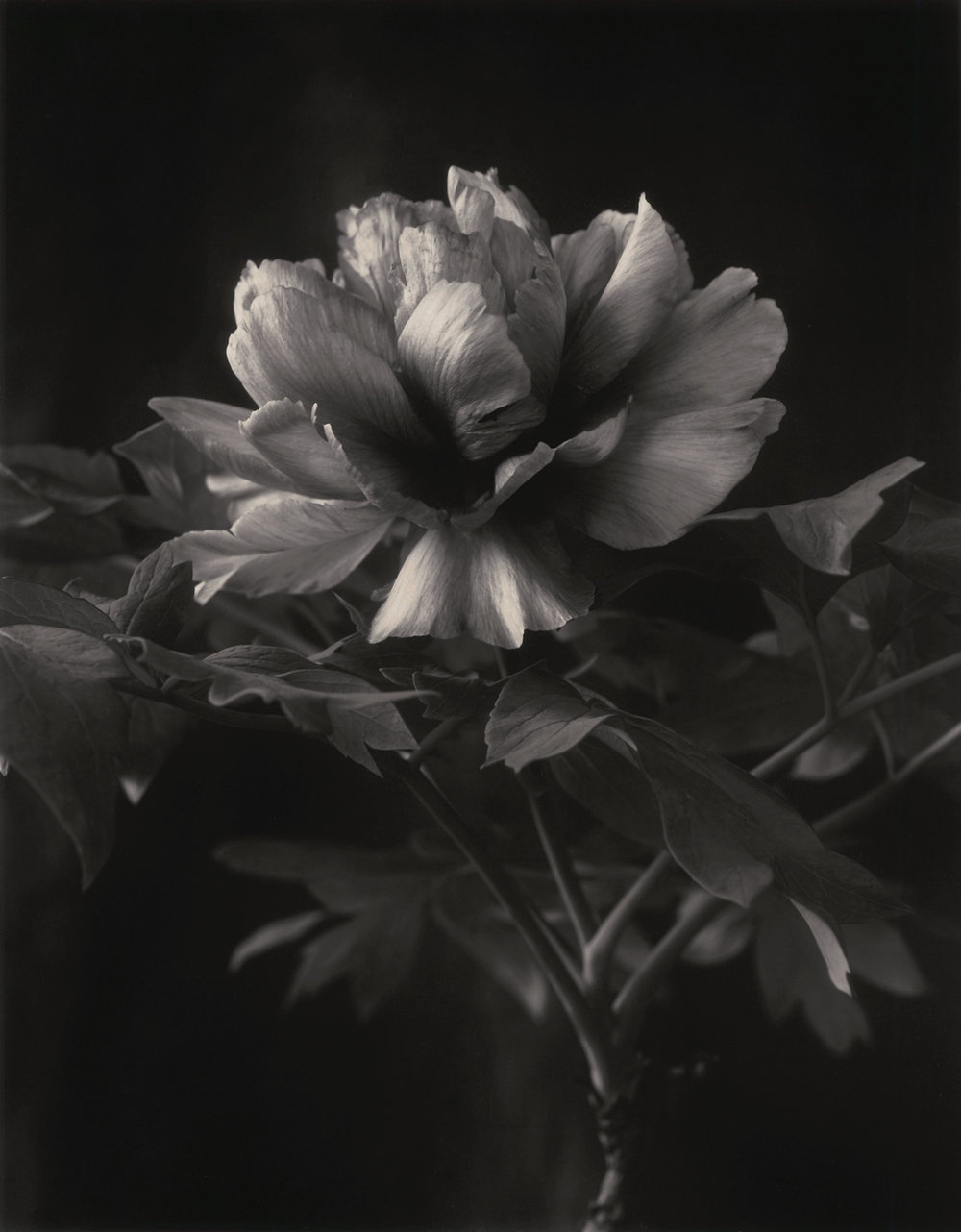Leda   Nassos Daphnis hybrid tree peony, photographed in my studio in Berkeley, California.  The California permitted me to grow my tree peonies in pots and in turn to bring them into the studio as growing plants.