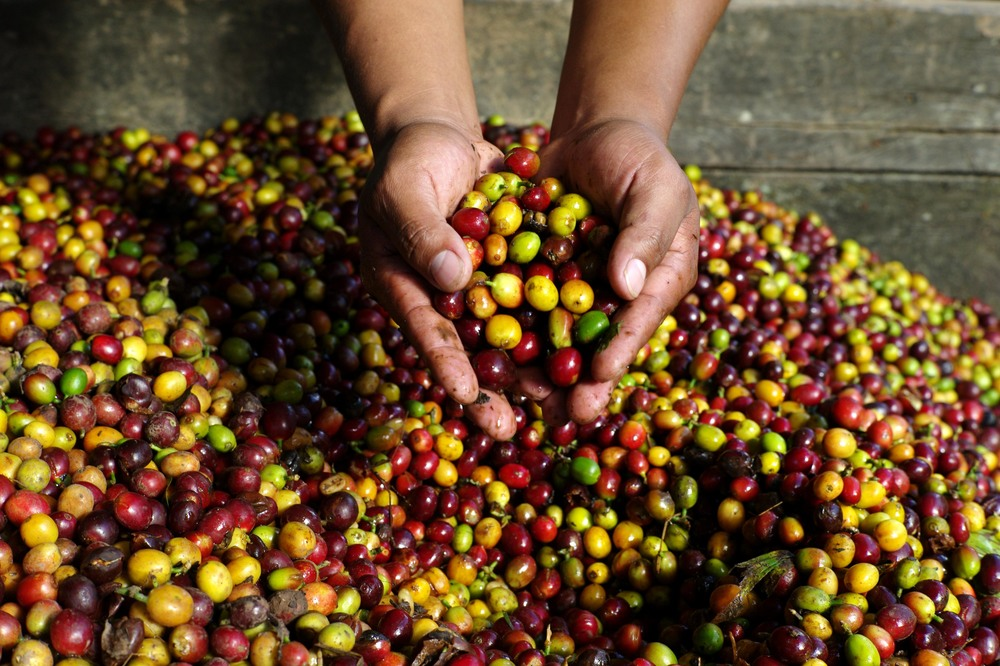 Coffee Cherries.jpg