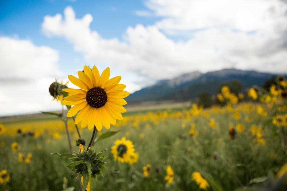 WildSunflower.JPG