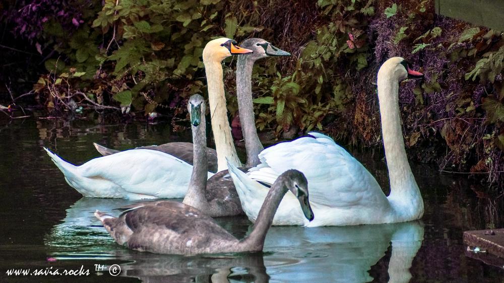 Swan - 1.1-2.jpg