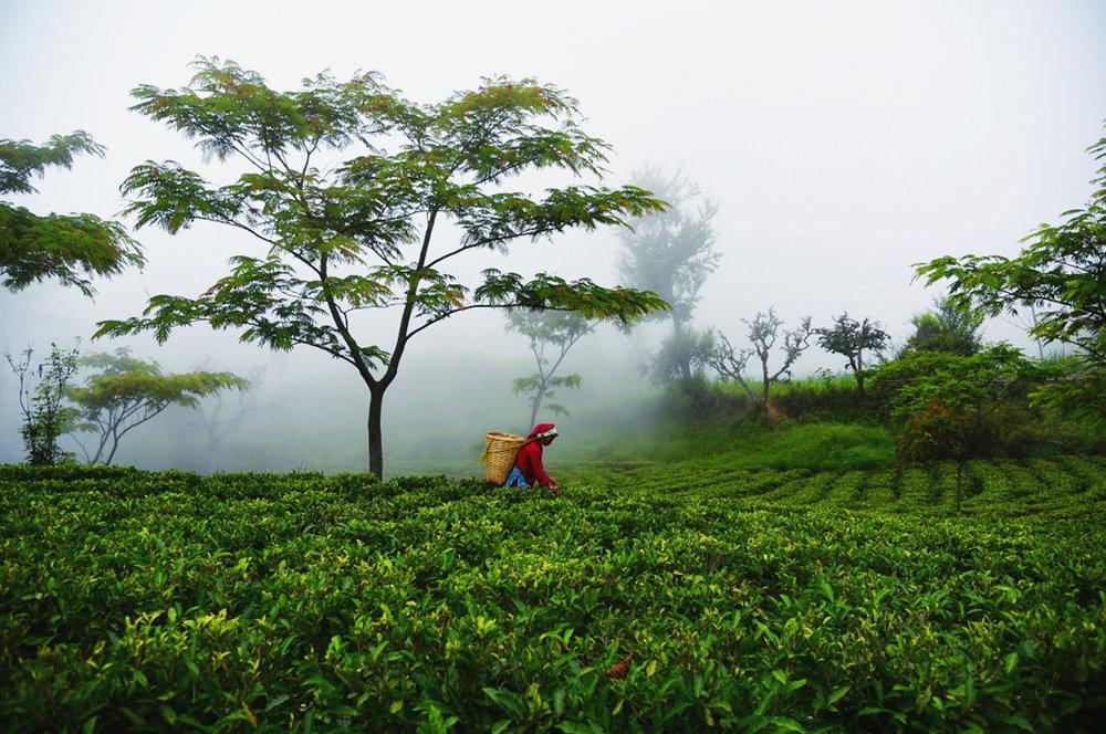 Foto: Jun Chiyabari Tea Garden